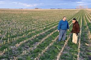 Ryegrass cover crop in a corn field