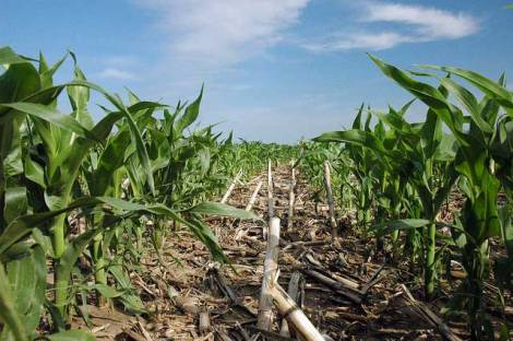 no-till-corn