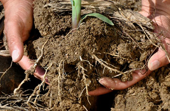 The rhizosphere is the region of soil found close to and influenced by roots. Green water is held in this portion of soil. Photo courtesy of flickr/NRCS Soil Health.