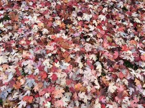 Leaf litter during fall in Madison WI. If added to garden beds - as is, or mulched - it provides insulation and nutrients for the soil.