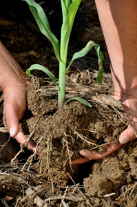 soil, roots and corn plant