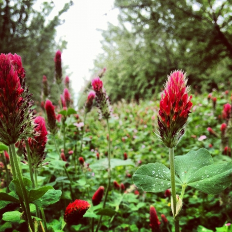 Crimson clover cover crops between almond trees (CA) manage weeds, provide organic matter, fix nitrogen, and more - besides, they are pretty! Credit: Luke Milliron
