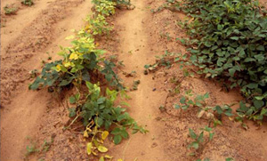Sandy soils, found in New England, were not as nutrient-rich as the soils of England. Crops can suffer without nutrients and water - provided by organic matter in loamy soils. Ph: Bir Singh