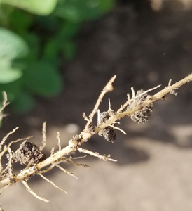 ynodules-on-a-young-soybean-plant-cropped-and-x-300