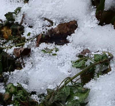 Plants and ground with snow and bare cover.