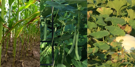 Corn, bean and squash plants