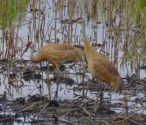 Sandhill cranes in pond