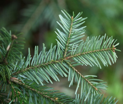 fir tree needles