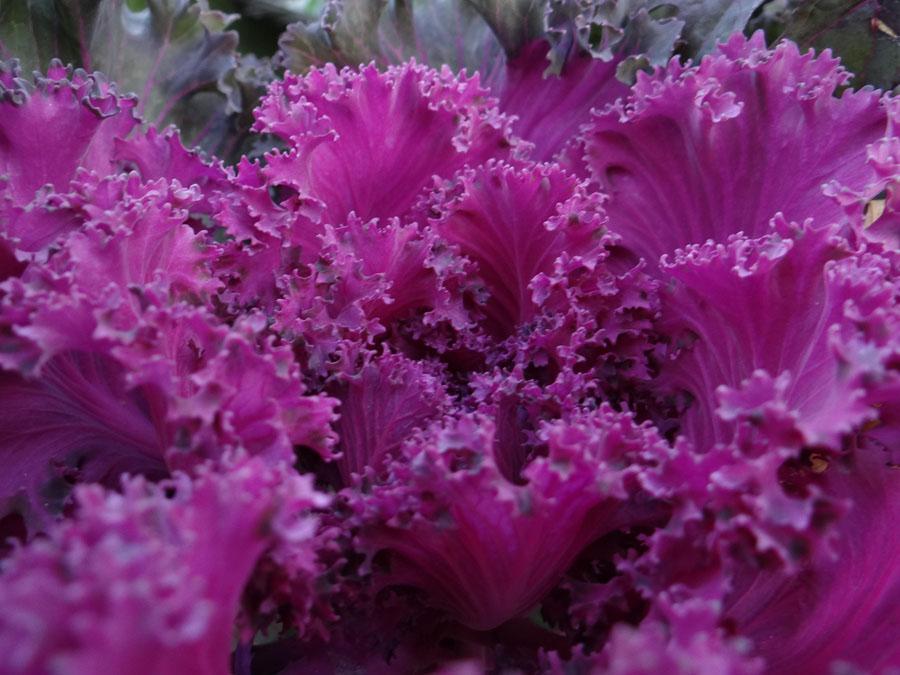 reddish purple kale