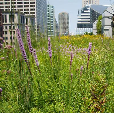 Flowers on a green roof in Chicago