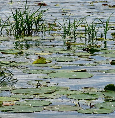 water lily pads in a wetland