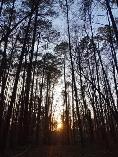 loblolly pines with sunset