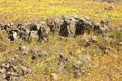yellow flowers on a field of lava rock