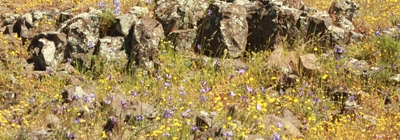 yellow flowers on a field of lava rock