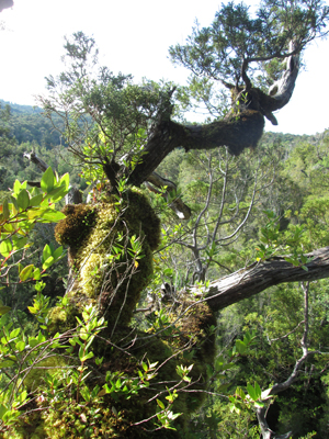 Branch, moss and soil on Chilean tree