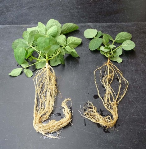 green leafs with root systems under them. the photo on the left shows many roots but the one on the right shows fewer as well as fewer plant leaves