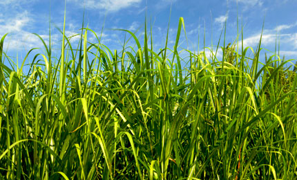 Bright green Miscanthus grass with blue sky behind.