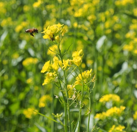 bright yellow flowers of the brassica plant, green stems, and a bee landing on one flower