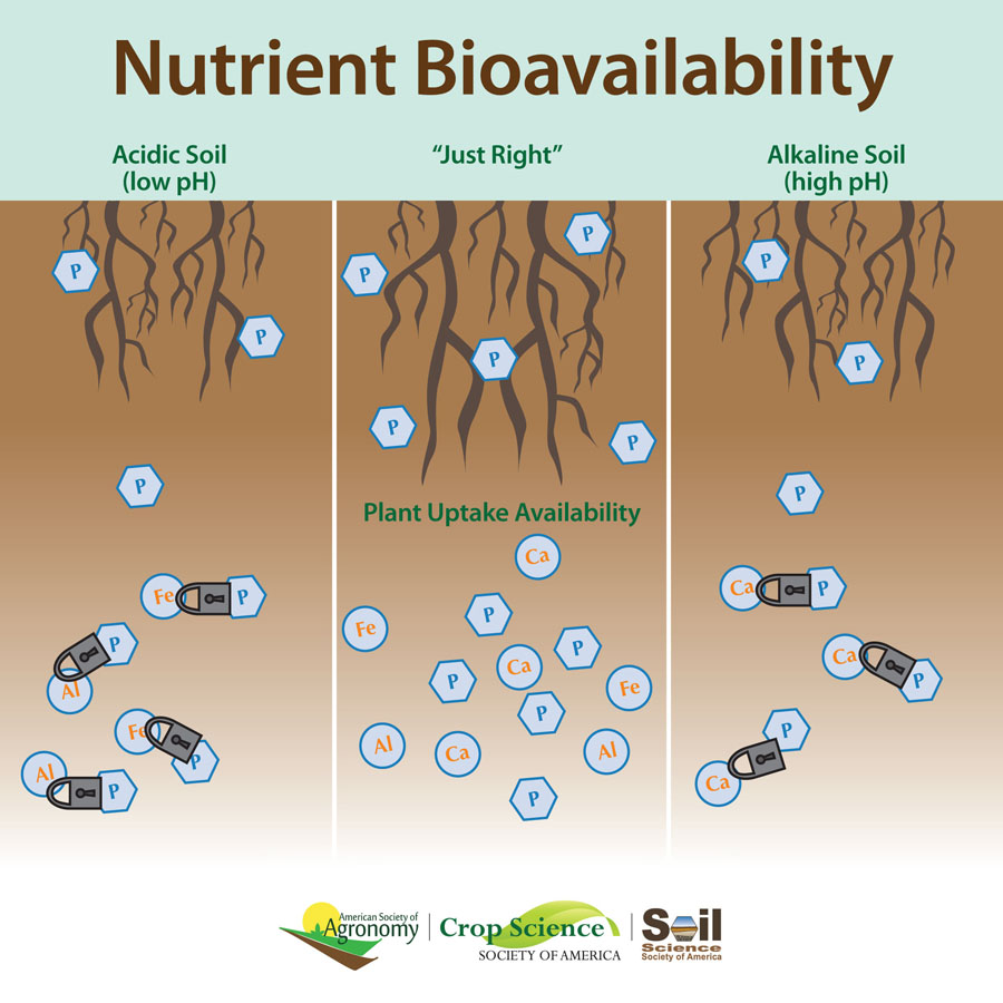 graphic showing phosphorus molecules locked by other elements if soil is too acidic or basic