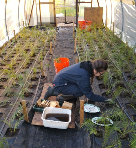 Researcher planting small green ferns into soil in a hoophouse - plastic greenhouse - with landscape fabric to prevent weeds