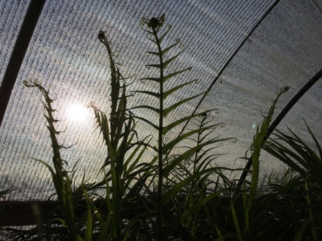 Dim sunlight through hoophouse fabric protector showing the silhouette of the ferns