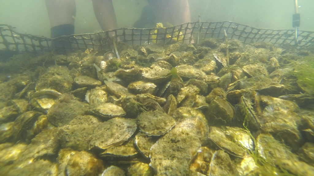 Oysters under water