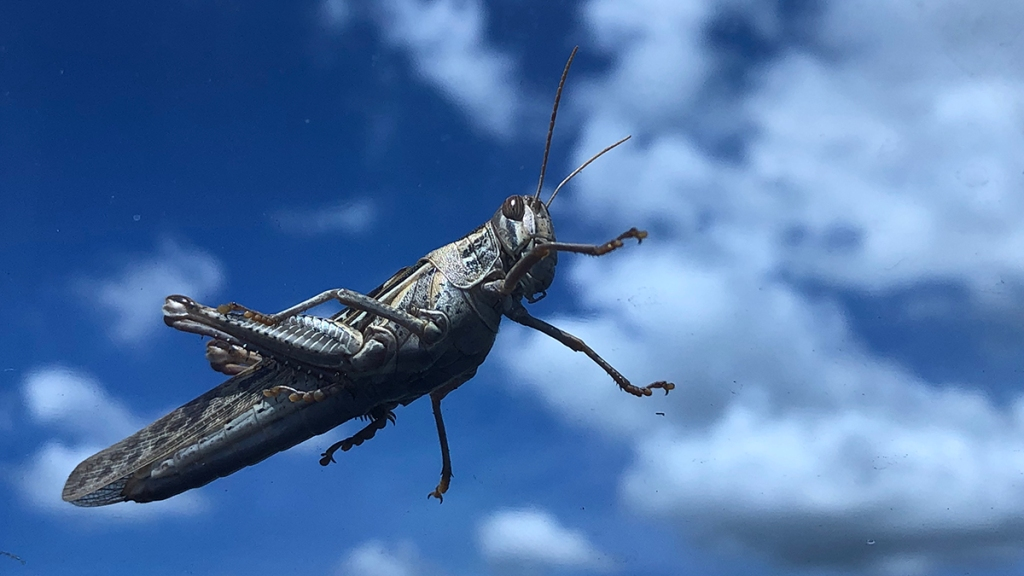 leaping cricket with sky in background