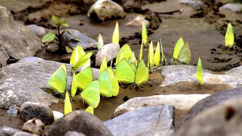 dozens of butterflies on rocky landscape