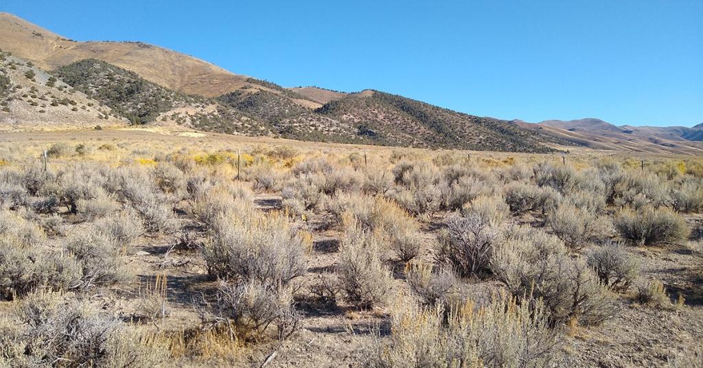 sagebrush plants in desert