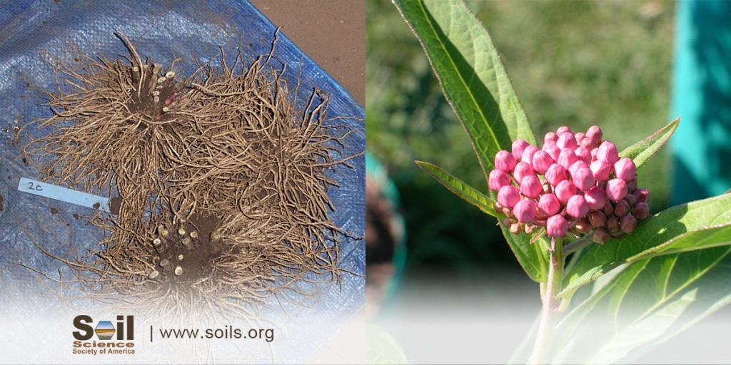 two photos side-by-side. The left photo shows roots of a common milkweed plant and the right photo shows the plant in full bloom.