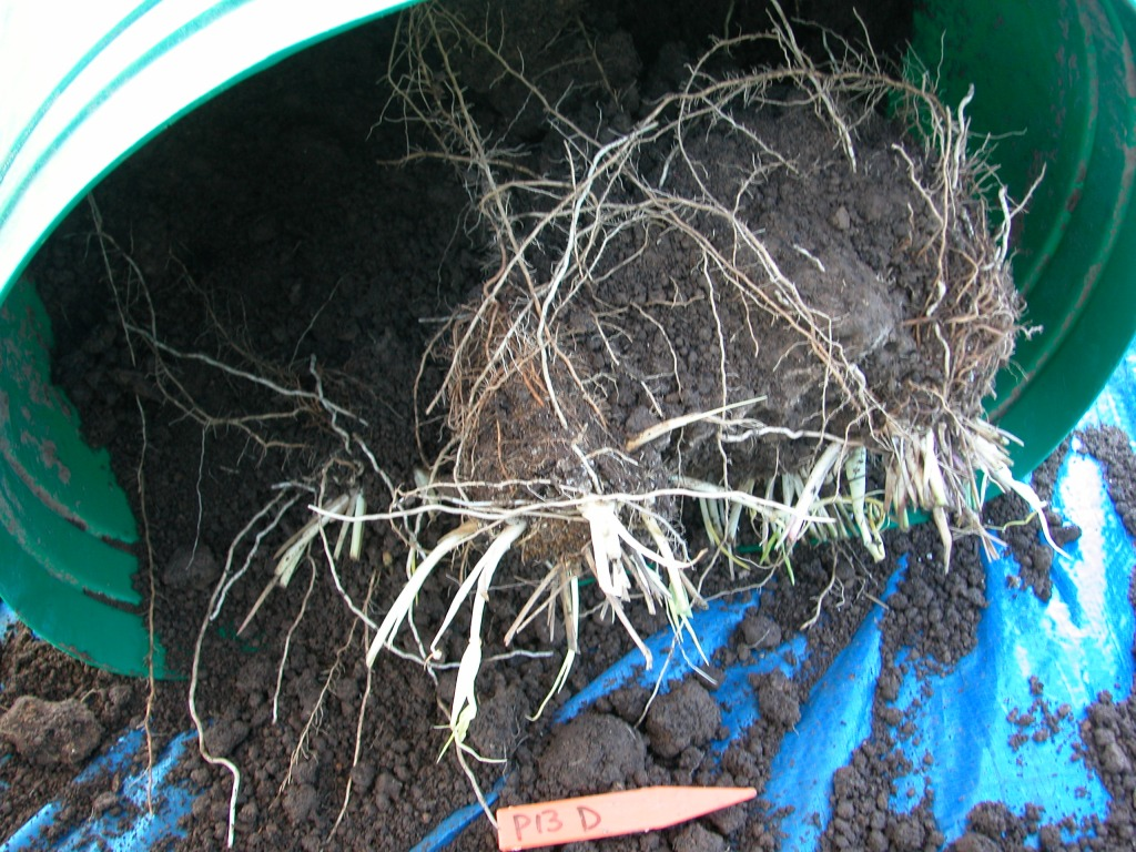 roots of a plant in a bucket