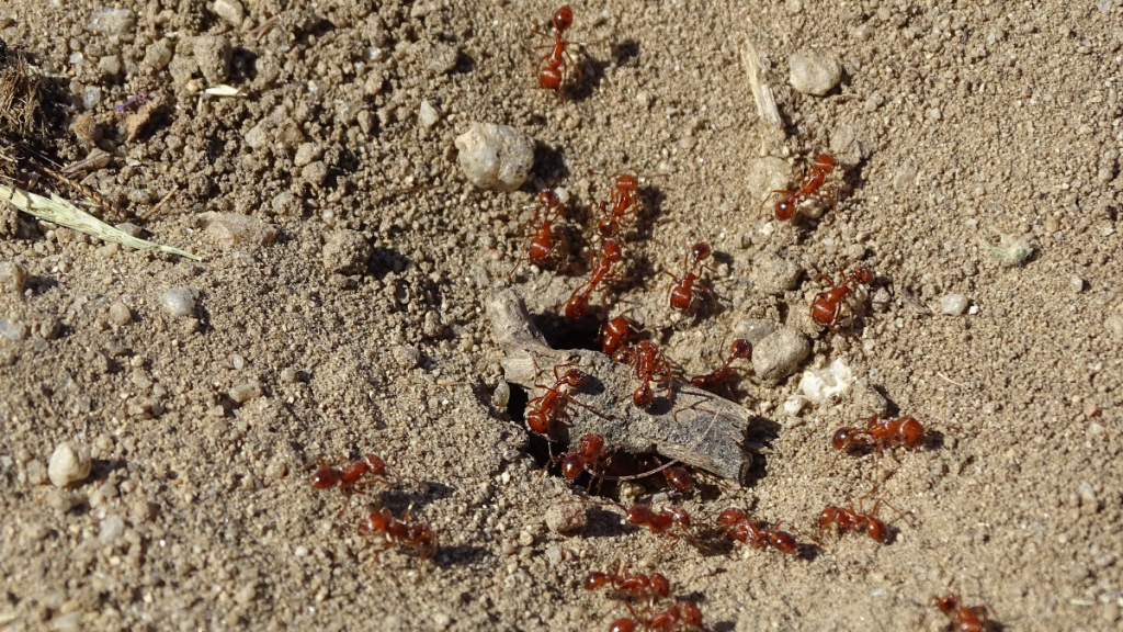 worker ants outside the main entrance to their home