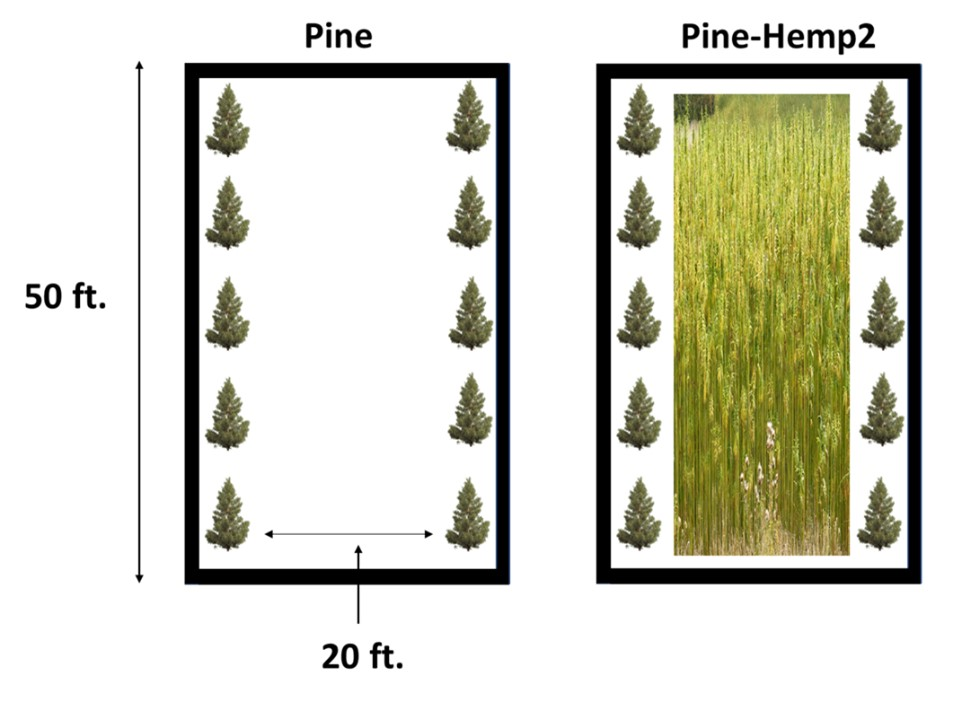 Illustration of two versions of pine planting