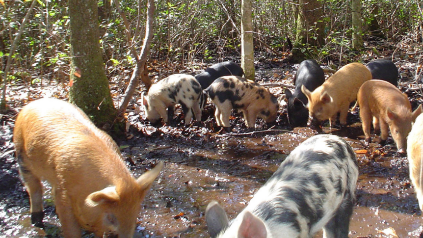 How do wild pigs affect ripariansystems?